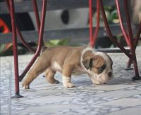 English Bulldog Puppies for sale in Silicon Valley, CA, USA. price: NA