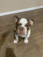 English Bulldog Puppies for sale in Riverview, FL 33579, USA. price: NA