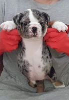English Bulldog Puppies for sale in Las Colinas, Irving, TX, USA. price: NA