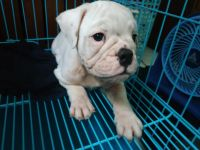 English Bulldog Puppies for sale in Portland, OR, USA. price: NA