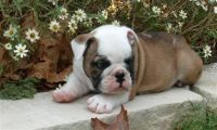 English Bulldog Puppies for sale in NM-128, Jal, NM, USA. price: NA