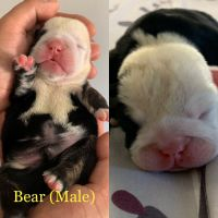 English Bulldog Puppies for sale in Montclair, CA 91763, USA. price: NA