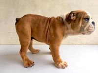 English Bulldog Puppies for sale in Atlantic City, NJ, USA. price: NA