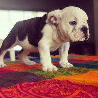 English Bulldog Puppies for sale in San Francisco Bay Area, CA, USA. price: NA