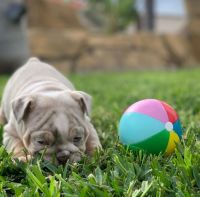 English Bulldog Puppies for sale in North Myrtle Beach, SC, USA. price: NA