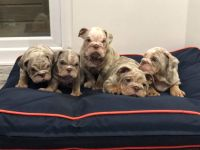 English Bulldog Puppies for sale in San Francisco, CA, USA. price: NA