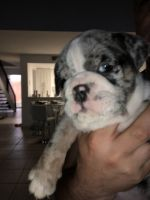 English Bulldog Puppies for sale in Pembroke Pines, FL, USA. price: NA