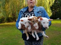 English Bulldog Puppies for sale in New York, NY 10012, USA. price: NA