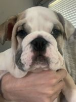 English Bulldog Puppies for sale in Highland, IL 62249, USA. price: NA