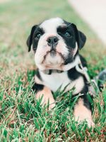 English Bulldog Puppies for sale in Laurel, MD, USA. price: NA
