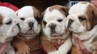 English Bulldog Puppies for sale in Colorado Springs, CO, USA. price: NA