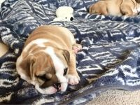 English Bulldog Puppies for sale in Virginia City, NV 89440, USA. price: NA