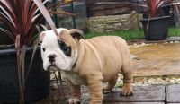 English Bulldog Puppies for sale in Florida City, FL, USA. price: NA