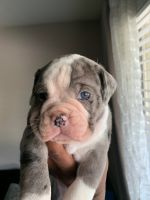 English Bulldog Puppies for sale in Houston, TX, USA. price: NA