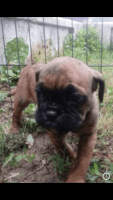 English Bulldog Puppies for sale in Robesonia, PA 19551, USA. price: NA