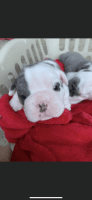 English Bulldog Puppies for sale in Ravenna, OH 44266, USA. price: NA