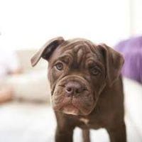 English Bulldog Puppies for sale in Sacramento, CA, USA. price: NA