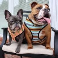 English Bulldog Puppies for sale in Florida, MA, USA. price: NA