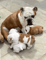 English Bulldog Puppies for sale in Greenville, NY 12083, USA. price: NA