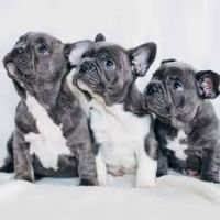 English Bulldog Puppies for sale in Santa Barbara, CA, USA. price: NA