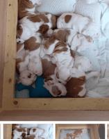 English Bulldog Puppies for sale in Newark, NJ, USA. price: NA