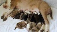 English Bulldog Puppies for sale in Alpine, NJ, USA. price: NA