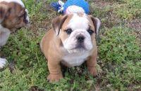 English Bulldog Puppies for sale in Grand Rapids, MI, USA. price: NA