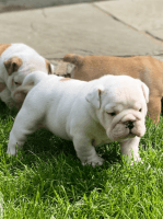 English Bulldog Puppies for sale in Vancouver, WA, USA. price: NA