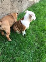 English Bulldog Puppies for sale in Chastain Park, Atlanta, GA, USA. price: NA