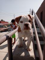 English Bulldog Puppies for sale in El Paso, TX 79936, USA. price: NA