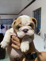 English Bulldog Puppies for sale in Stafford, VA 22554, USA. price: NA