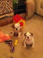English Bulldog Puppies for sale in Savannah, GA, USA. price: NA