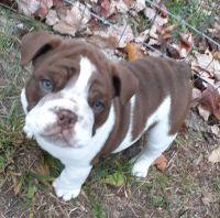English Bulldog Puppies for sale in Cadillac, MI 49601, USA. price: NA