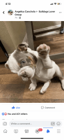 English Bulldog Puppies for sale in Las Vegas, NV 89128, USA. price: NA