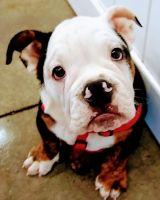 English Bulldog Puppies for sale in Roanoke, VA 24017, USA. price: NA