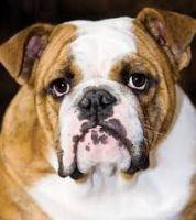 English Bulldog Puppies for sale in New York New York Casino, 3790 S Las Vegas Blvd, Las Vegas, NV 89109, USA. price: NA