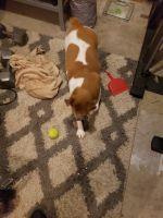 English Bulldog Puppies for sale in Auburn, WA, USA. price: NA