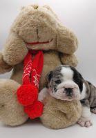 English Bulldog Puppies for sale in Vallejo, CA, USA. price: NA