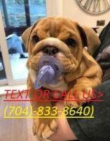 English Bulldog Puppies for sale in Alabama City, Gadsden, AL 35904, USA. price: NA