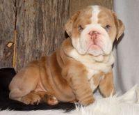 English Bulldog Puppies for sale in Dallas, TX 75247, USA. price: NA