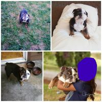 English Bulldog Puppies for sale in Marysville, WA 98270, USA. price: NA
