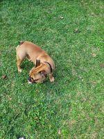 English Bulldog Puppies for sale in Pasadena, TX, USA. price: NA
