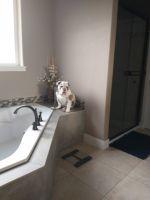 English Bulldog Puppies for sale in Pasco, WA 99301, USA. price: NA