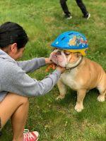 English Bulldog Puppies for sale in Centreville, VA, USA. price: NA