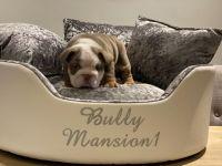 English Bulldog Puppies for sale in Boston, MA, USA. price: NA