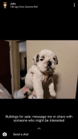 English Bulldog Puppies for sale in Chicago, IL, USA. price: NA