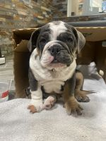English Bulldog Puppies for sale in Miami, FL, USA. price: NA