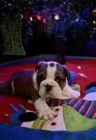 English Bulldog Puppies for sale in Hinton, IA 51024, USA. price: NA