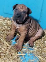 English Bulldog Puppies for sale in Poplar Bluff, MO 63901, USA. price: NA