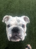 English Bulldog Puppies for sale in Redondo Beach, CA, USA. price: NA